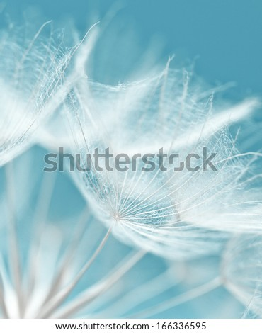 Abstract dandelion flower background, extreme closeup. Big dandelion. Art photography