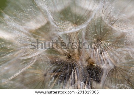 Abstract dandelion flower background, extreme closeup. Big dandelion on natural background. Art photography