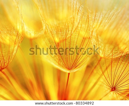 Abstract dandelion flower background, extreme closeup with soft focus, beautiful nature details - stock photo
