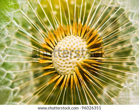 Abstract dandelion flower close up  / shallow depth of field / - stock photo