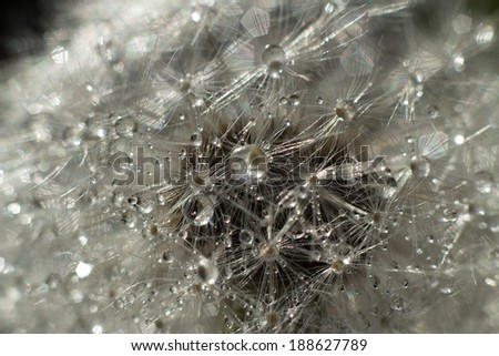 abstract dandelion flower seeds with water drops background, macro