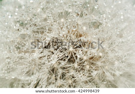 Abstract dandelion flower with water drops background,  closeup. natural texture