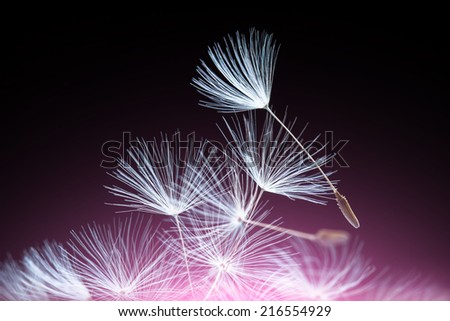 Abstract dandelion seeds pink lighted - stock photo
