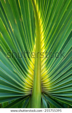 Abstract detail of a beautiful green and yellow palm leaf of bismark palm tree. - stock photo