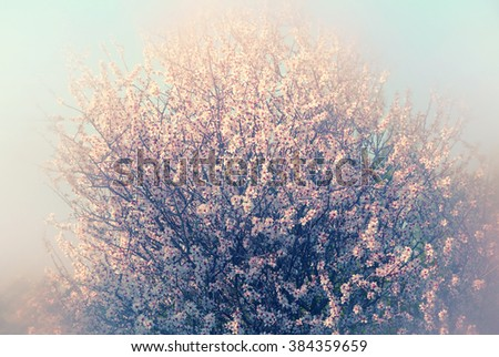 abstract dreamy and blurred image of spring white cherry blossoms tree. selective focus. vintage filtered  - stock photo