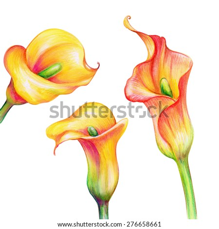 abstract exotic yellow calla flowers set, watercolor illustration isolated on white background - stock photo