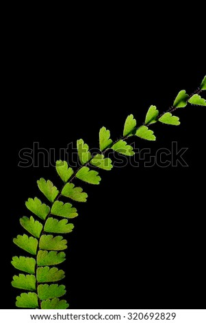 Abstract Fern leaf on black background - stock photo