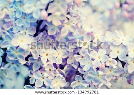 abstract floral background. blooming lilacs. - stock photo