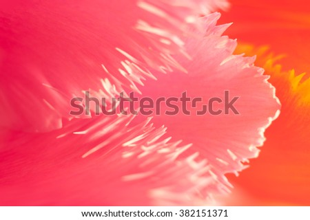 Abstract floral background with macro petals of Tulip. Vibrant pink and orange petals with white and yellow borders close-up. Flat lay abstract floral composition. - stock photo