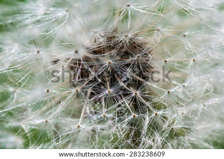 Abstract floral decorative background of white fluffy dandelion flowers close up