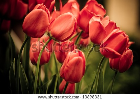 abstract flowers tulips close-up background - stock photo