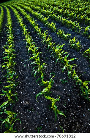 abstract image of curved rows of newly sprouting corn plants in a farmer's field - stock photo