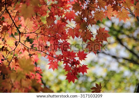 Abstract image of fall maple leaves with blurred outdoor background