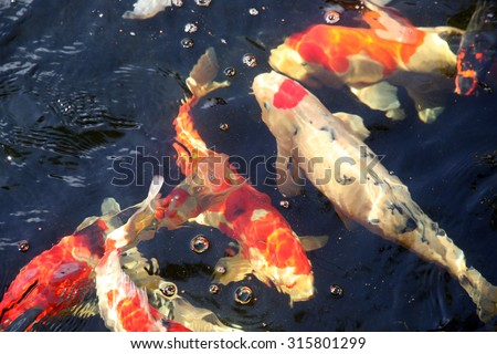 Abstract images of Koi Fish swimming in water. Koi fish are loved around the world for their beautiful colors and patterns. Goldfish are part of the Koi Fish family and like to swim along side - stock photo