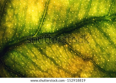abstract macro close up of a green yellow  leaf and his veins in the light background - stock photo