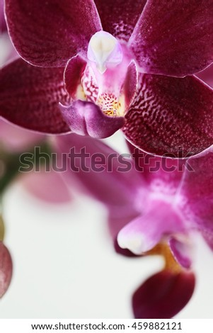 Abstract macro of a purple Phalaenopsis Orchid Flower, also known as the Moth Orchid, with extreme shallow depth of field. - stock photo