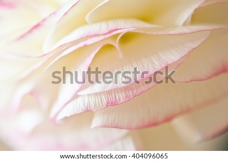 Abstract macro photo of a ranunculus flower with shallow depth of field. Natural background in soft beige and pink colors. - stock photo