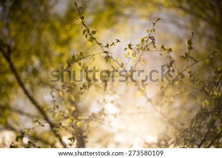 Abstract natural background, forest trees. nature green wood sunlight backgrounds.Green birch leaves, bright sun, spring nature background - stock photo