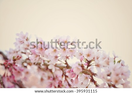 Abstract natural background of cherry blossom or Sakura flowers in vintage style