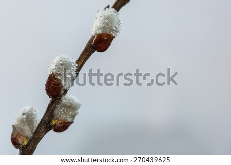 Abstract natural spring background from willow catkins on the branch with rain drops - stock photo