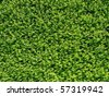 Abstract Nature Background of a Leafy Green Garden Hedge - stock photo