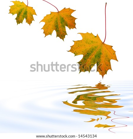 Abstract of a three maple leaves with the colors of Autumn reflected over softly rippled water. Set against a white background. - stock photo
