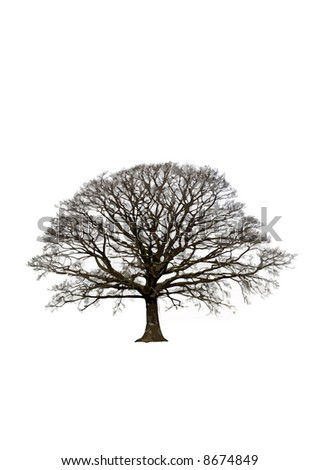 Abstract of an oak tree in winter, set against a white background. - stock photo