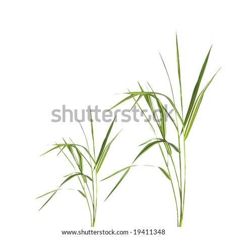 Abstract of bamboo leaf grass isolated over white background. - stock photo