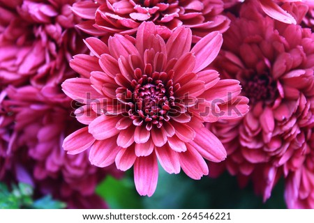 Abstract of flower dahlia for background, Abstract petals flower dahlia - stock photo