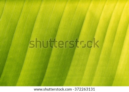 Abstract of green banana leaf background, texture (close up) - stock photo