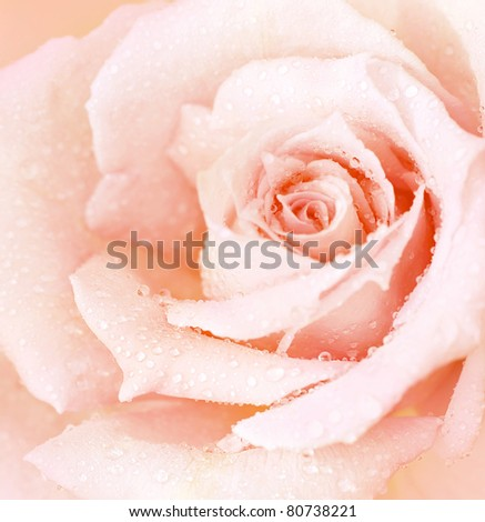 Abstract pink wet rose background, beautiful macro flower with morning dew, nature details - stock photo