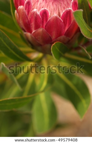 abstract protea flower focus and leaf arrangement - stock photo