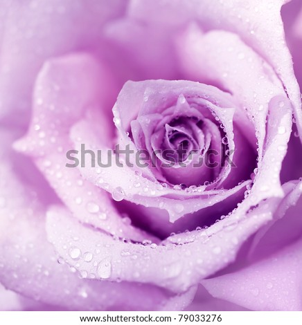 Abstract purple wet rose background, beautiful macro flower with morning dew - stock photo