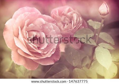 Abstract romantic pink roses flowers with water drops. Floral background with soft selective focus. Vintage style processing image with coloration. - stock photo