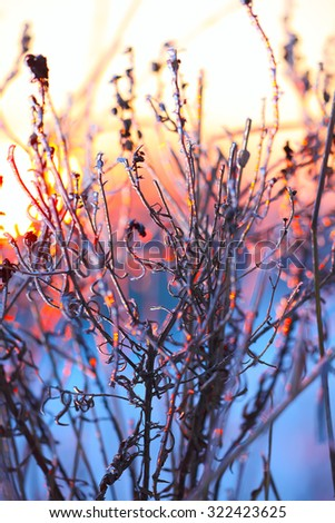 abstract silhouettes of plants in the frost at sunset - stock photo