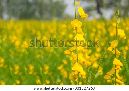 Abstract soft blurred and soft focus of Crotalaria juncea flower ( Fabaceae, Leguminosae ). - stock photo