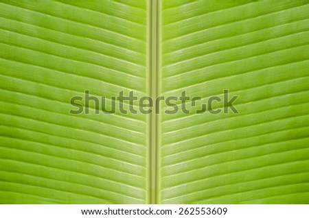 Abstract Soft Green Banana Leaves Foods Kitchen Texture Background - stock photo