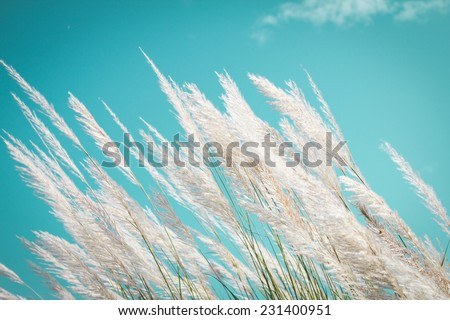 abstract softness white Feather Grass with retro sky blue background and space  - stock photo