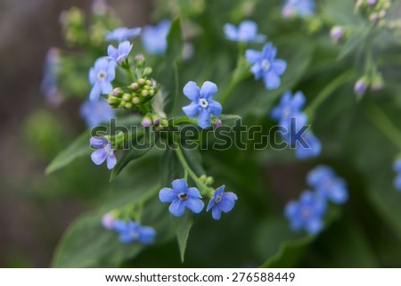 Abstract spring blurred background. Forget-me-not closeup with blurred focus and shallow depth of field. Focus is on the central part of the image. - stock photo