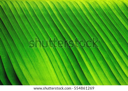 Abstract striped natural background, Details of banana leaf