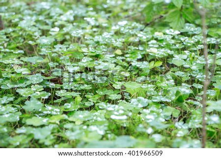 Abstract textured backdrop with green clover. Symbol of success,luck and fortune. Carpet of clovers after rain. Clover field with drops on leaves. Four-leaf clovers filled picture. Focus to the center - stock photo