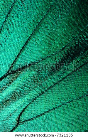 Abstract turquoise texture of shiny butterfly wing - morpho - stock photo
