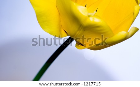 abstract yellow tulip, crop