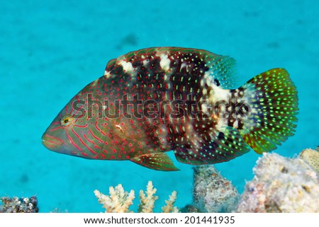 Abudjubbe's wrasse (Cheilinus abudjubbe) in the Red Sea, Egypt.