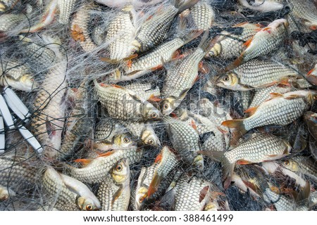 """Abundance river freshwater carp or """"lampam sungai"""" just cought using net. Many fishes trapped by fishing net. - stock photo"""