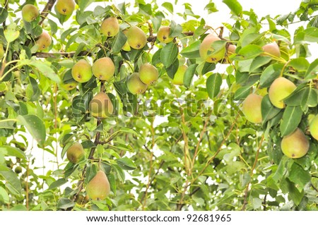Abundant Crop of Pears Growing on Pear Tree - stock photo
