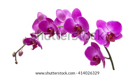 abundant flowering of magenta phalaenopsis orchid isolated on white