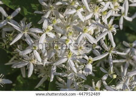 Abundant flowering white clematis on a background of green foliage - stock photo