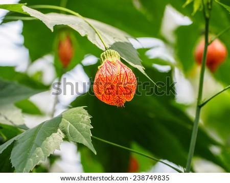 Abutilon hybridum CHINESE LANTERN hanging colorful flower against natural green background - centered - stock photo