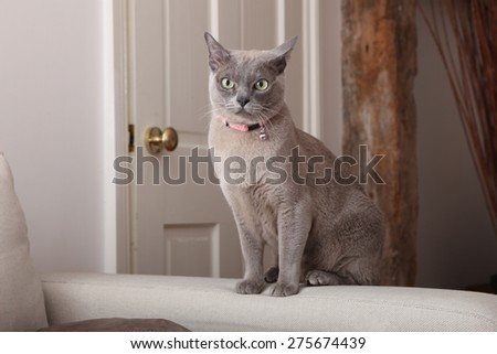 Abyssinian Blue Cat sitting on the arm of a sofa - stock photo
